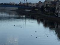 狩野川鴨・写真1.JPGのサムネール画像