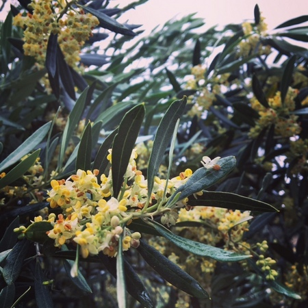 olive2017.JPG
