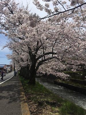 富士市のさくら(道路から).jpg