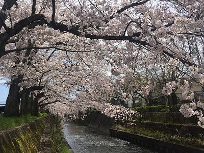 富士市のさくら(川べり).jpg